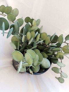 Xerosicyos Danguyi Gallon Pot Rare Silver dollar vine succulent plant The silver dollar vine is a really unusual succulent type plant/vine. It has thick succulent grayish green leaves that are a perfect round shape. The flowers are a yellowish green. Unusual Plants, Cool Plants, Green Plants, Air Plants, Indoor Plants, Foliage Plants, Indoor Herbs, Bonsai Plants, Hanging Plants