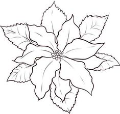 1000 images about Poinsettia on