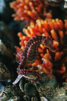 seahorse-  Jim and I actually seen one of these on one of our dives.