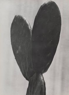 there's something about cactus   (Cactus  Tina Modotti (Italian, 1896-1942)