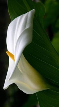 Calla Lillies, Calla Lily, Purple Flowers, Art Images, Ideas Para, Plant Leaves, Flora, Wallpaper, Gallery