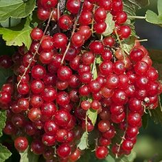Red Lake Currant Bush - Potted - Jelly Makers Love It - 2... https://www.amazon.com/dp/B000P72DM6/ref=cm_sw_r_pi_dp_x_o2g4zbBMPE05M
