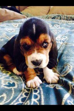 Bassett Hound Pup