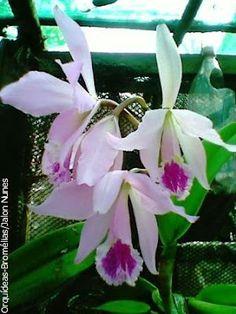 Orquídea: Cattleya labiata amesiana