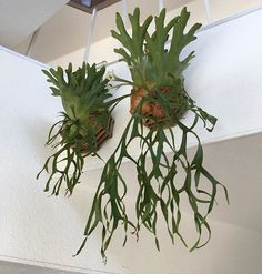Unique kokedama samambaia Ball Ideas for Hanging Garden Plants selber machen ball Orchid Plants, Orchids, Hanging Plants, Indoor Plants, Staghorn Plant, Rabbit Foot Fern, Moss Plant, Ferns Garden, Orchid Care