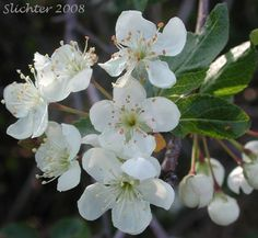 Malus fusca flowers - Pacific crabapple