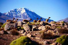 Vicuna ( Vicugna vicugna ) with Volcano Sajama in the background - Lauca Parque Nacional, Tarapaca Chile