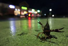 hurricane irene: crawfish at a gas station in delaware