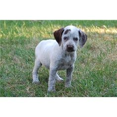 Bourbonnais  Pointer Puppy