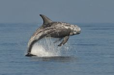 Risso's Dolphin- The UK population is extra special as it  has been shown to be genetically distinct to the Risso's dolphins in the Mediterranean. Description from ptes.org. I searched for this on bing.com/images