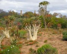 Karoo - semi-dessert.  South Africa Dry Garden, Exotic Plants, Cacti And Succulents, Botanical Gardens, South America, Garden Landscaping, Travel Destinations, Scenery, Places To Visit
