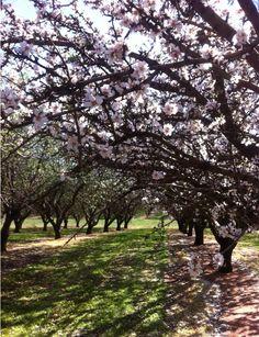 Almond blossom Almond Blossom, Photo Tree, Plants, Plant, Planets