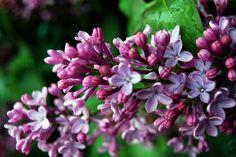 Lilacs - Syringa.