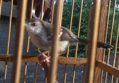 Suara Ciblek Betina – Burung yang juga biasa disebut dengan nama prenjak oleh sebagian kicaumania Jawa Timur ini, memang tak jarang berada dalam kondisi yang kurang mengenakan yaitu macet ... Read moreDownload Suara Ciblek Betina untuk Pancingan Bird, Animals, Animales, Animaux, Birds, Animal, Animais