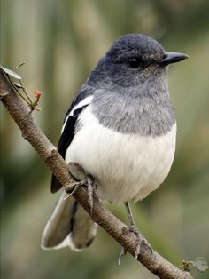 Oriental Magpie Robin, resident breeder in tropical S Asia - (c) Rohit Singh