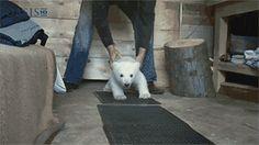 """pleatedjeans: """"baby polar bear's first steps [video] [via] """""""