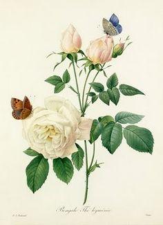 Bengale Thé hyménée by Pierre Joseph Redouté (1759-1840) rose butterfly