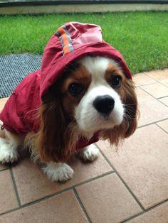 Cavalier King Charles Spaniel (Blenheim) - Paco e la pioggia