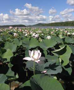 Lotus Lake. Primorsky Region. Russia