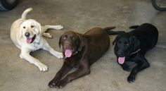 Ten Dog Breeds with the Least Amount of Health Issues..Love my lab/shep