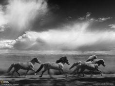 Fotografia di Ellert Gretarsson / Your ShotIl cavallo islandese è una razza sviluppata in Islanda dal pony introdotti dai coloni scandinavi nei secoli IX e X. Sono molto popolari a livello internazionale.