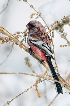 Long-tailed Rosefinch by Young Sung Bae on 500px