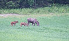 Moose with 2 children in spring
