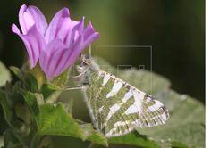 Al borde de la extinción 19 especies de mariposas en el Mediterráneo