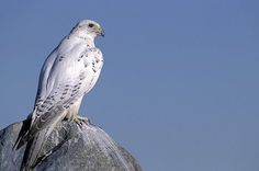 Google Image Result for http://www.alaska-in-pictures.com/data/media/1/gyrfalcon-perched-atop-boulder_6134.jpg