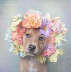 Artist Photographs Pit Bulls In Floral Crowns To Show Softer Side And Encourage Adoption Artist: Sophie Gamand Photography