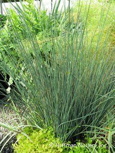 Cornus stolonifera american dogwood is an elegant open for Ornamental grasses for ponds