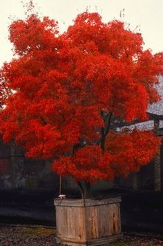 Acer palmatum linearilobum 'Red Cloud'(RED CLOUD UPRIGHT JAPANESE MAPLE) Zone 5-8 Height: 6-8', spread: 4-8' Spring: bright red, Summer: darker red, fall: reddish orange rare