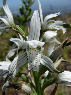 https://flic.kr/p/5jSkDq | Orchidaceae - Chloraea multiflora Lindl. | endémica de Chile. Lugar foto: Cerro Mauco V Región