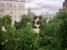 The Rooftop Garden at Bell Book & Candle. Growing food on roof to serve.
