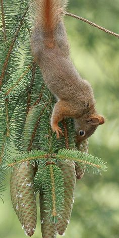**Red squirrel