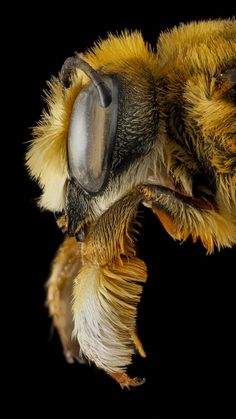 Honey bee side view close up - All About Gardens Cool Insects, Bugs And Insects, Beautiful Creatures, Animals Beautiful, Mon Zoo, Animals And Pets, Cute Animals, Foto Macro, Cool Bugs