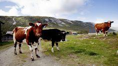 Norsk landbruk bruker minst antibiotika i Europa. Det er bra for folkehelsa. Men…