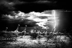 Giraffe in a thunderstorm