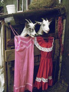 goats and dresses Farm Animals, Funny Animals, Cute Animals, Animal Fun, Animal Pictures, Funny Pictures, Amazing Pictures, Funny Images, Funny Sheep