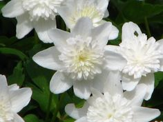 Welcome - Cotswold Garden Flowers Buy Plants, Garden Plants, Wood Anemone, Early Spring Flowers, Moon Garden, Flowering Trees, Clematis, Shade Garden, White Flowers