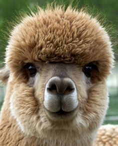 Contact Us Alpacas are cute, which is why we thought they deserved their own post. These guys live at Prairie Moon Alpacas. Farm Animals, Animals And Pets, Funny Animals, Cute Animals, Alpacas, Alpaca Pictures, Animal Pictures, Alpaca Images, Cute Alpaca