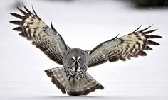 The Guardian outlines the 10 best birding destinations in the world to see exotic birds such as this Great Grey Owl Photography Tours, Wildlife Photography, Great Grey Owl, Exotic Birds, Bird Watching, Science And Nature, The Guardian, The Incredibles, Vacation Ideas