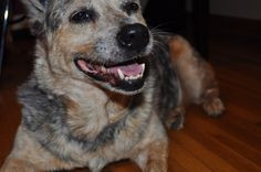 "australian cattle dog ""blue heeler"" {indigo}"