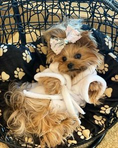 Cute Baby Dogs, Cute Little Puppies, Baby Puppies, Cute Baby Animals, Cute Puppies, Yorkie Puppy, Teacup Yorkie, Rat Dog, Yorshire Terrier