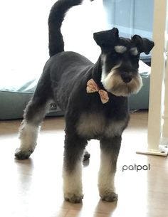 Miniature schnauzer at PatPal dog grooming, Willoughby, Sydney www.patpaldoggrooming.com