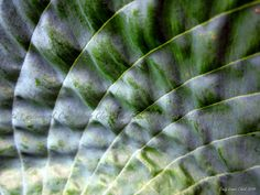Hosta   A study in macro photography  from by CindyELClarkPhotos  https://www.etsy.com/listing/221483945/hosta-a-study-in-macro-photography-from