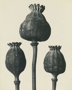 Karl Blossfeldt: - Google Search
