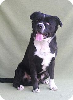 Greensboro, NC - Border Collie Mix. Meet Bolt, a dog for adoption. http://www.adoptapet.com/pet/12330023-greensboro-north-carolina-border-collie-mix