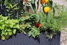 Zatímco nám neodolatelně voní, mnohé škůdce spíše odpuzují. Nebo alespoň maskují vůni zeleniny, na kterou mají citlivý nos. Bylinky sázely na stráž zeleniny už naše babičky, a věděly proč.