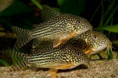 Sterbai's Corydoras (Corydoras Sterbai) - Adult size: 3.2 inches. Origin: South America